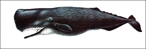 Кашалот (Physeter catodon). Рисунок, картинка киты