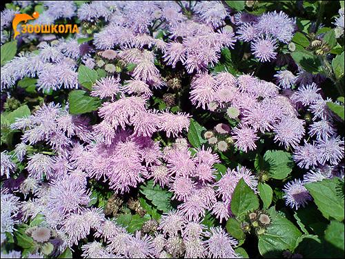 Сиреневые цветы фото фотография
