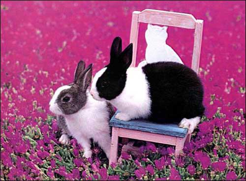 Кролики, содержание кроликов клетка вольер выгулы спаривание кроликов течка строительство гнезда самкой роды крольчихи выкармливание крольчат активность кормление рацион питание кроликов, фото кролики, Зайцы и кролики на