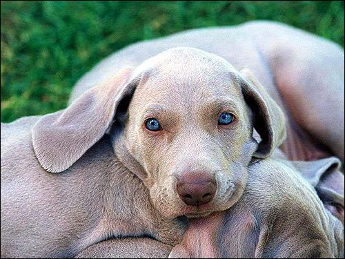 Щенки веймаранера, веймарская легавая, Фото фотография собаки картинка