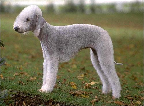 Бедлингтон-терьер, Фото фотография собаки картинка