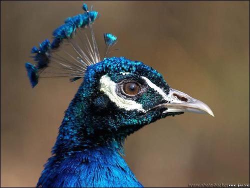 Самец павлина, Фото фотография картинка птицы