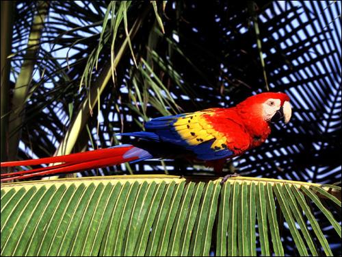 Красный ара, араканга, ара Скарлета (Ara macao), Фото фотография картинка птицы