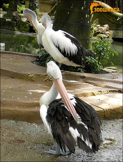 Пеликаны, Фото фотография картинка птицы