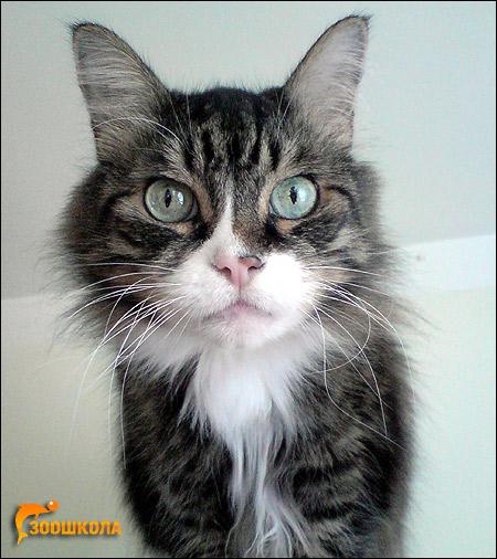 Сибирский кот (сибирская кошка). Фото, фотография картинка животные