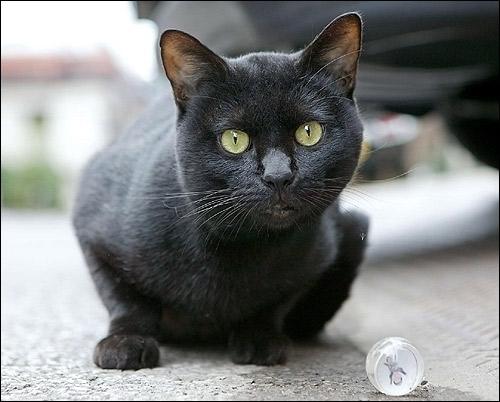Черный кот, чёрная кошка. Фото, фотография картинка животные