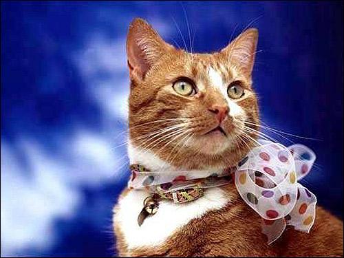 Кот с бантиком. Фото, фотография картинка кошки
