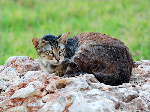 Кошка, лежащая на камнях, дикого (агути) окраса. Фото, фотография картинка
