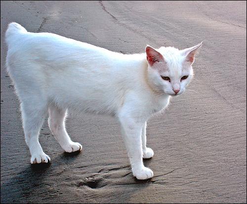 Белая бесхвостая кошка (кот). Фото, фотография картинка