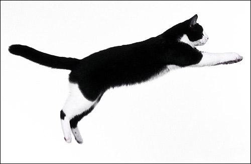 Черно-белая кошка в прыжке. Фото, фотография картинка животные
