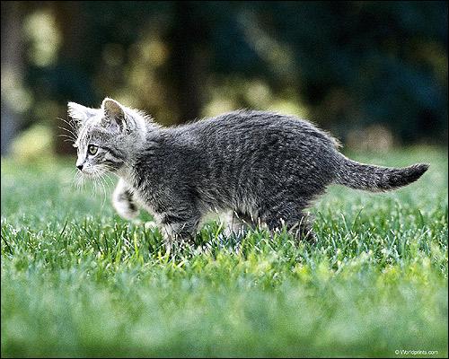 Серый (дымчатый) котенок гуляет по зеленой траве. Фото, фотография картинка кошки
