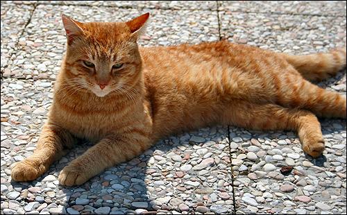 Рыжий кот лежит на земле. Фото, фотография картинка животные