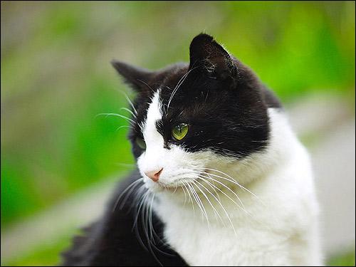 Бело-черная кошка (кот). Фото, фотография картинка животные