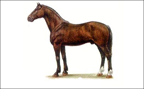Новокиргизская лошадь. Рисунок, картинка породы лошадей