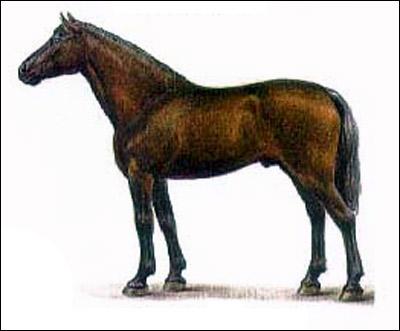 Кабардинская лошадь. Рисунок, картинка породы лошадей