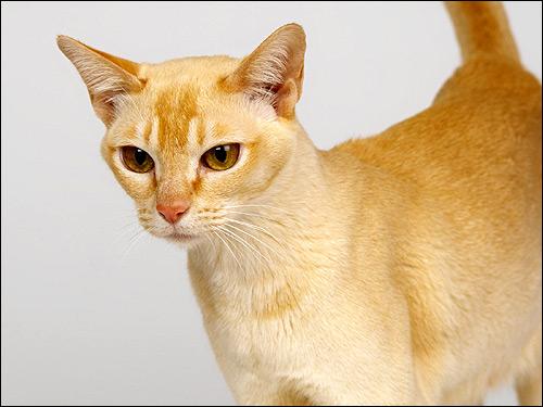 Рыжая кошка. Фото, фотография картинка