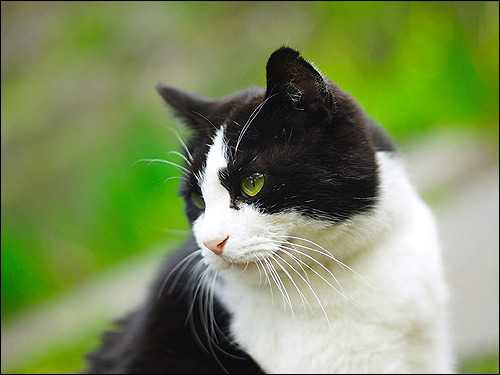 Голова бело-черной кошки. Фото, фотография
