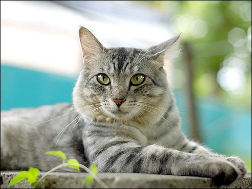 Дымчатая кошка. Фото, фотография картинка