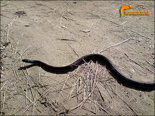 Амурский полоз (Elaphe schrencki), Фото фотография картинка рептилии