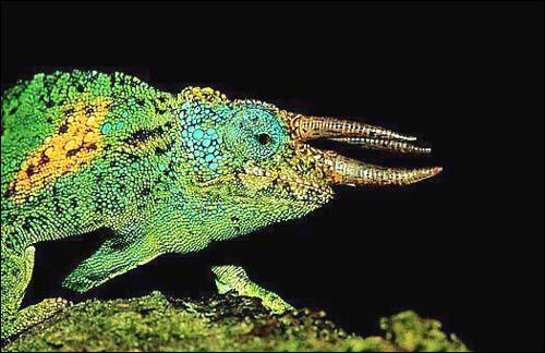 Хамелеон Джексона, трехрогий хамелеон (Chamaeleo jacksonii), Фото фотография рептилии картинка