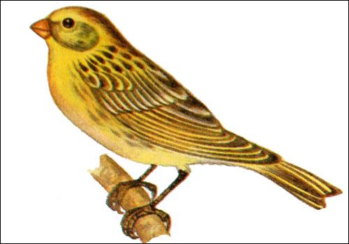 Канареечный вьюрок (Serinus canaria), Рисунок картинка птицы