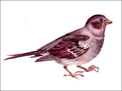 Канарейка цветная (Serinus canaria), Рисунок картинка птицы